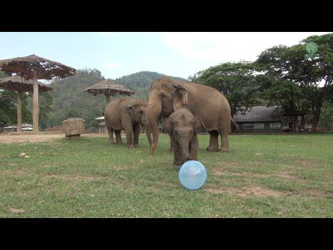 Baby Elephant Always Love The Toy - ElephantNews #Video