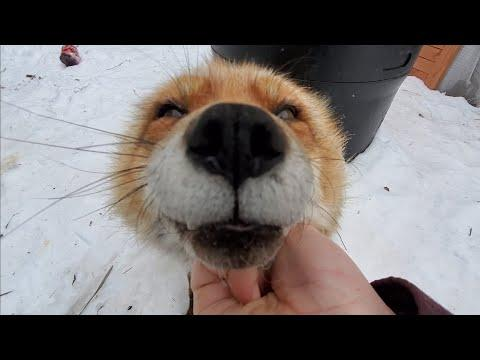 Wake up Finnegan Fox it's Morning! SaveAFox Video