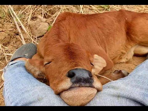 Cute baby calf Sleeping -  Cute Baby animals video
