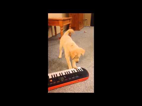 Lab Puppy Plays Piano