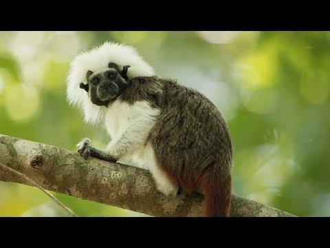 Cotton-top Tamarins Have Incredible Hairdos! | Seven Worlds, One Planet | BBC Earth