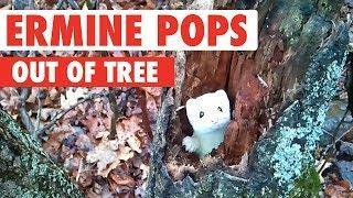 Ermine Pops Out of a Tree