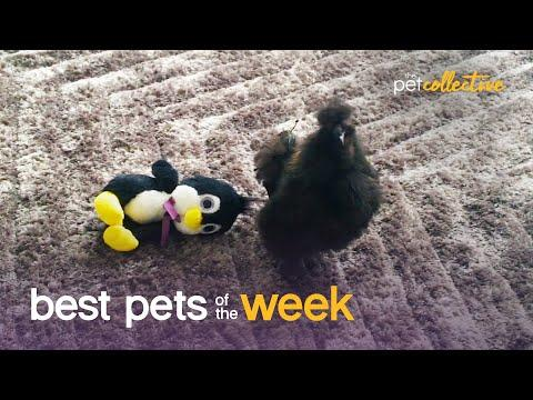 Who Are You Calling Chicken? | Best Pets of the Week Video