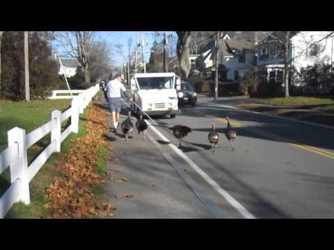 Turkeys Attack Mailman Every Daymailman