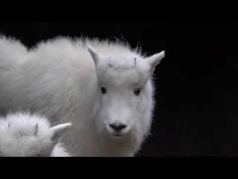 Bouncy Mountain Goat Kids Arrive at Oregon Zoo