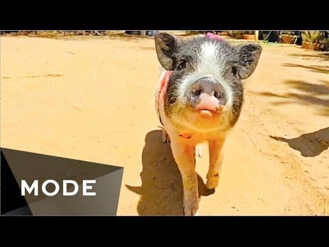 Watch This Little Piggy Go | Mode.com