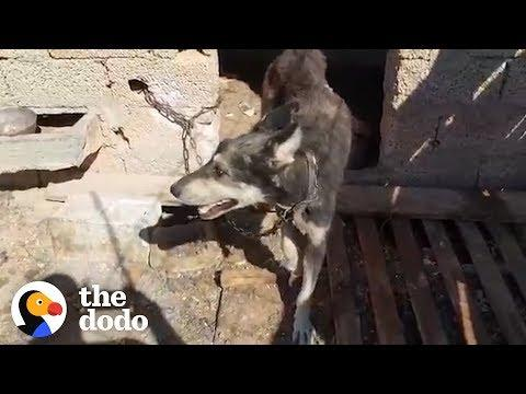 Dog Chained His Whole Life Is Finally Free | The Dodo