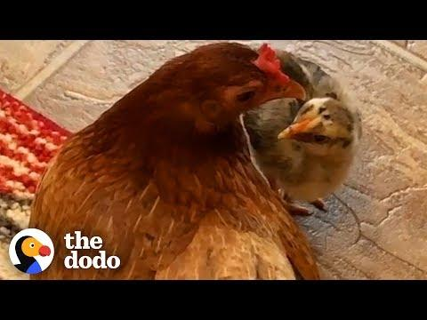 Ben The Rescue Chicken Just Adopted A Chick Who Wasn't Hers | The Dodo