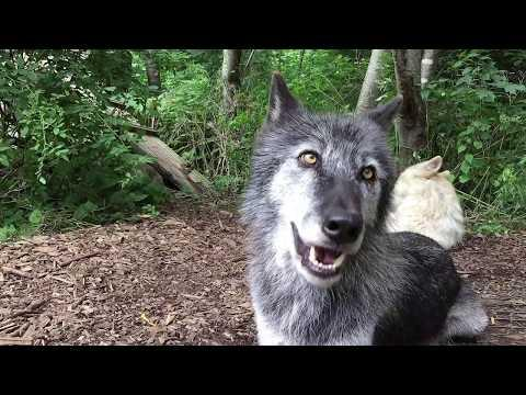 Happy Wolves, Happy Howls Video