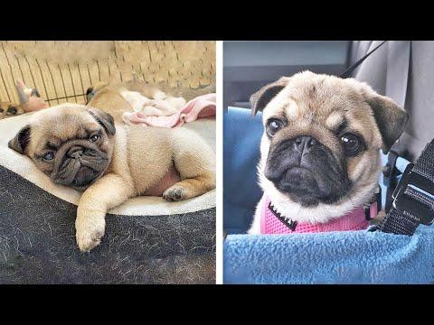 AWW SOO Cute and Funny Pug Puppies - Funniest Pug Ever #29 #Video
