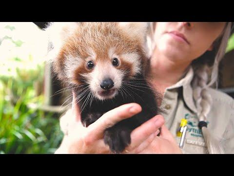 Cutest red panda compilation ever