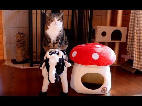 Maru relaxes on the cow