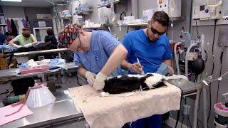 Capers The Cat Is Getting All Patched Up! | Dr. Jeff: Rocky Mountain Vet