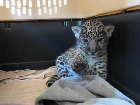 Warning: Extremely Cute - Baby Jaguar (Cub) Waves His Paw #Video