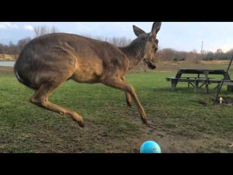 Baby Deer Can't Figure Out How To Play With A Ball