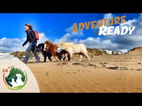 Miniature Horse Team Training | Coastal Path | Woodland & In to Town!