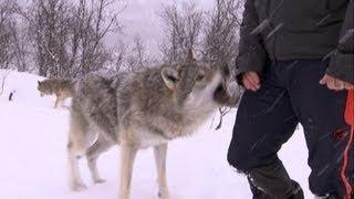 Terrifying Wolf Bites Steve | Deadly 60 | Series 2 | BBC