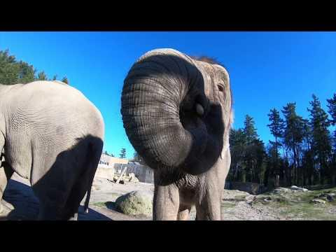 How Elephants Eat Honeydews