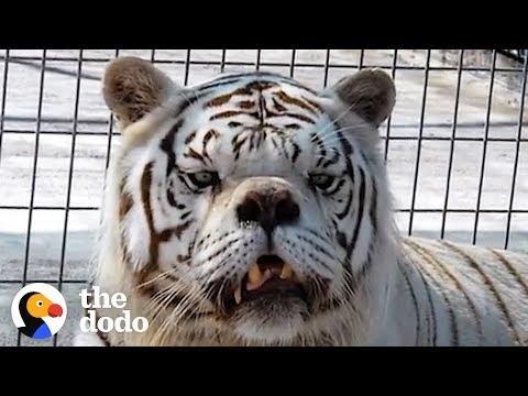 White Tigers Aren't Supposed To Exist | The Dodo
