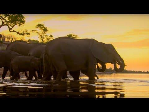 Elephants Under Threat of A Cull | The Long Walk Home | BBC Earth