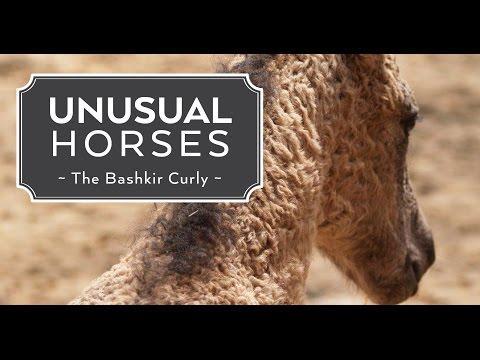 Unusual Horses: Bashkir Curly