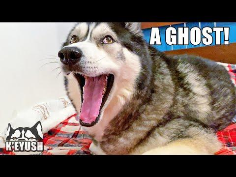 My Husky Sees A Ghost In My Bedroom? Video.