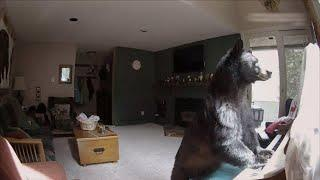 Caught On Security Camera: A Bear Invades A Vacation House | Intruders