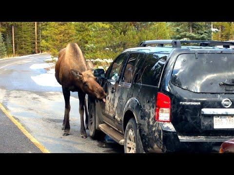 Moose Car Wash: Mother And Baby Deer Lick SUV Clean