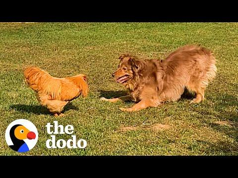 Rooster Loves Chasing This Big Dog #Video