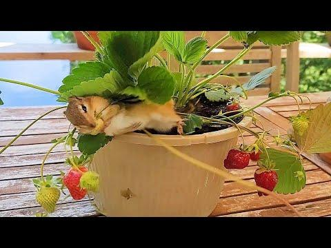 What Happens When Chipmunks Meet A Pot Of Strawberries #Video