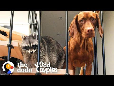 Raccoon Was Only Child Until Puppy Sister Comes Home   The Dodo Odd Couples