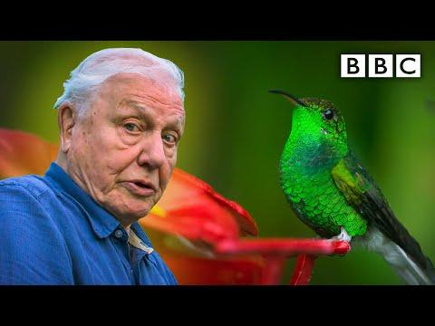 David Attenborough meets a very glamorous hummingbird #Video