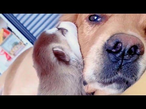 Golden Dog Adores His Best Friend's Cute Puppies Video