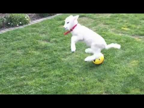 Pet Lambs Playing Ball