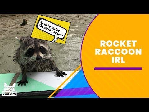 Rocket Racoon IRL