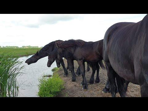 Can they reach the reeds or not... Very satisfying watch these Friesian Horses. Love it. ❤
