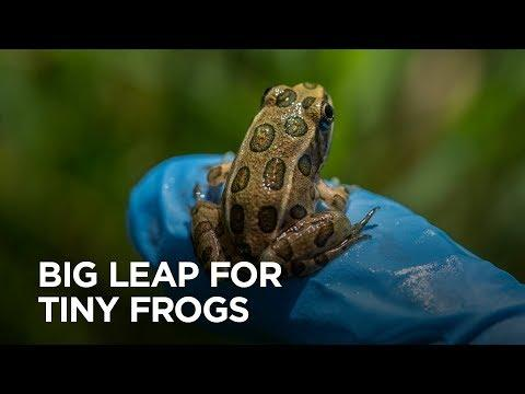 These little frogs are wildlife pioneers