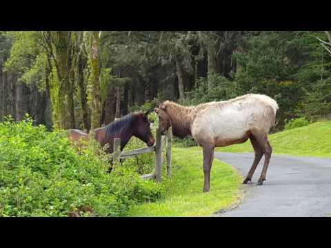Odd Couple - Horse and Elk Video (Surf Pines, North Coast Oregon)