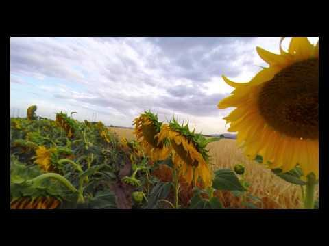 Fying Over Fields Of Sunflowers With Relaxing Music