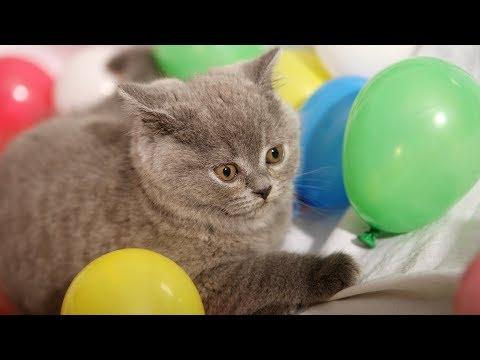 Funny Cats Playing with Balloons Cute Kittens Vs Balloons