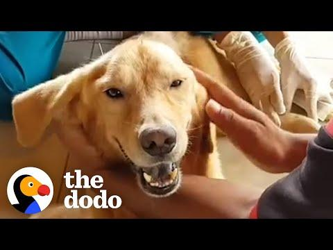 Golden Retriever Spent His Life In A Cage Video