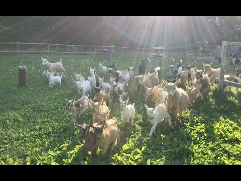 The Running of the Goats Video- All 90!