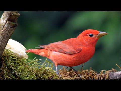 Summer Tanager in Colombia Video