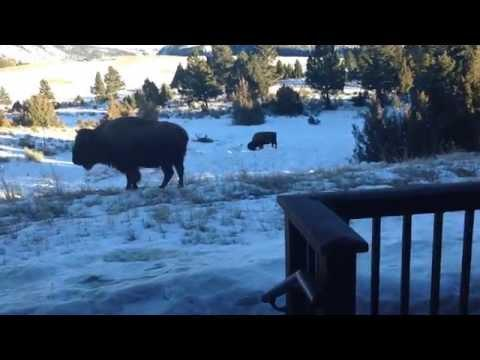 Bison In My Yard At Yellowstone