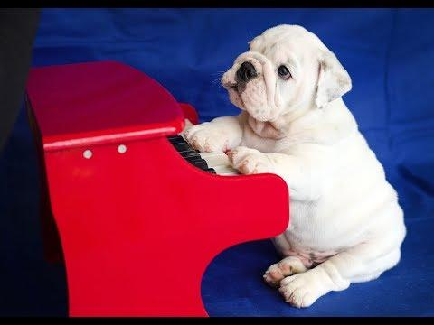 World's Youngest Piano Playing Bulldog