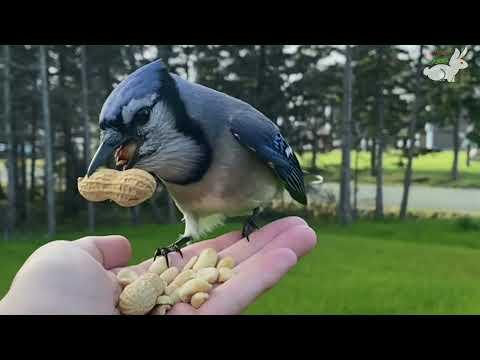 Woman Makes Friends With Wild Blue Jays #Video