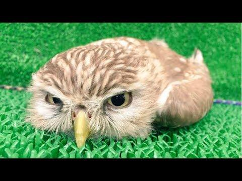 CUTE OWL - Funny Owls And Cute Owl Videos Compilation