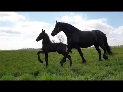 10 days old Friesian filly for the first time in the pasture. Jacobien en Elsje.