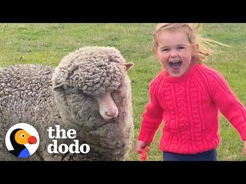 Orphaned Lamb Runs to His Favorite Toddler Like a Dalmatian #Video
