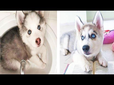 Funny And SOO Cute Husky Puppies Compilation #22 - Cutest Husky Puppy #Video
